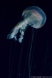 Jellyfish night-swimming (Pelagia noctiluca) by Marco Faimali (ismar-Cnr) 